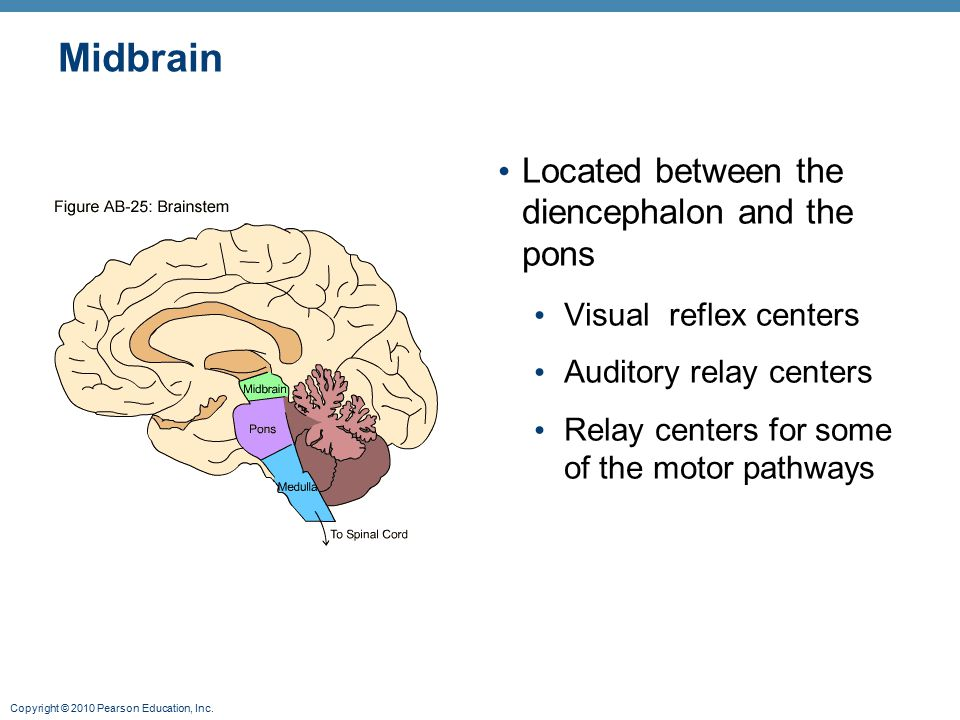 Midbrain Located between the diencephalon and the pons