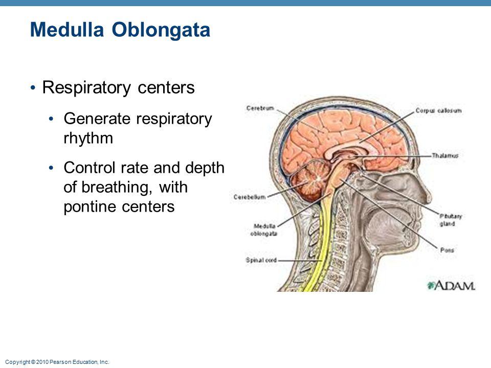 Medulla Oblongata Respiratory centers Generate respiratory rhythm