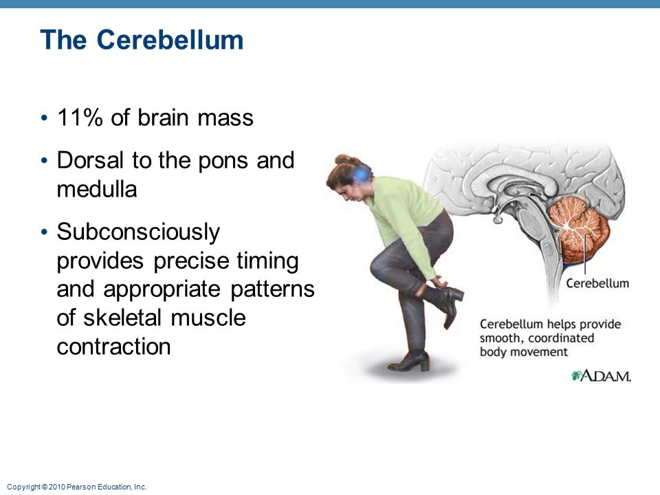 The Cerebellum 11% of brain mass Dorsal to the pons and medulla