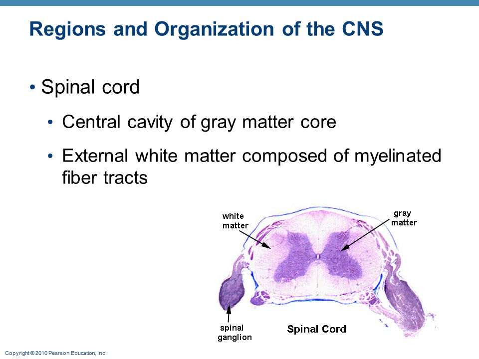 Regions and Organization of the CNS