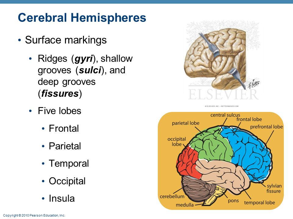 Cerebral Hemispheres Surface markings