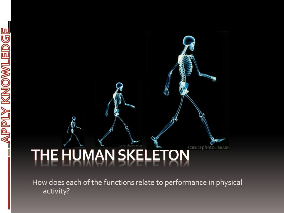 The Human skeleton APPLY KNOWLEDGE