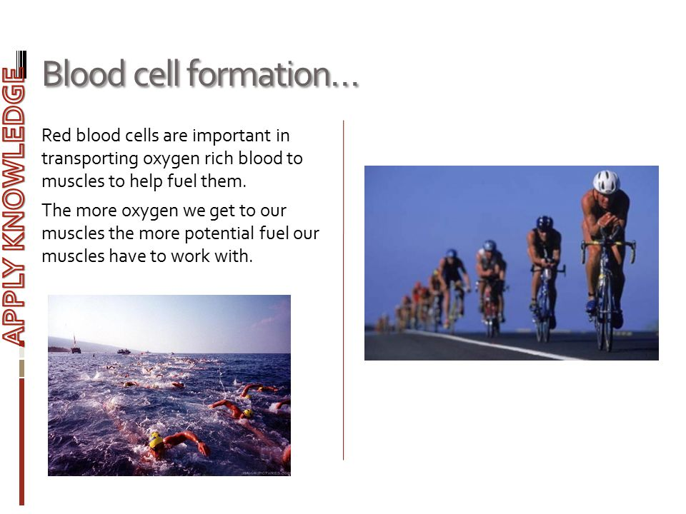 Blood cell formation… APPLY KNOWLEDGE