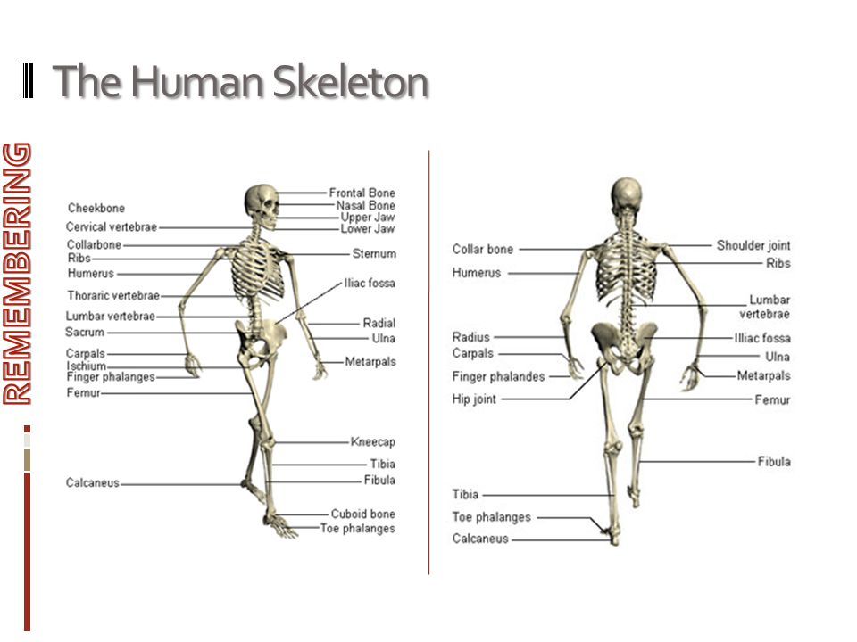 The Human Skeleton REMEMBERING