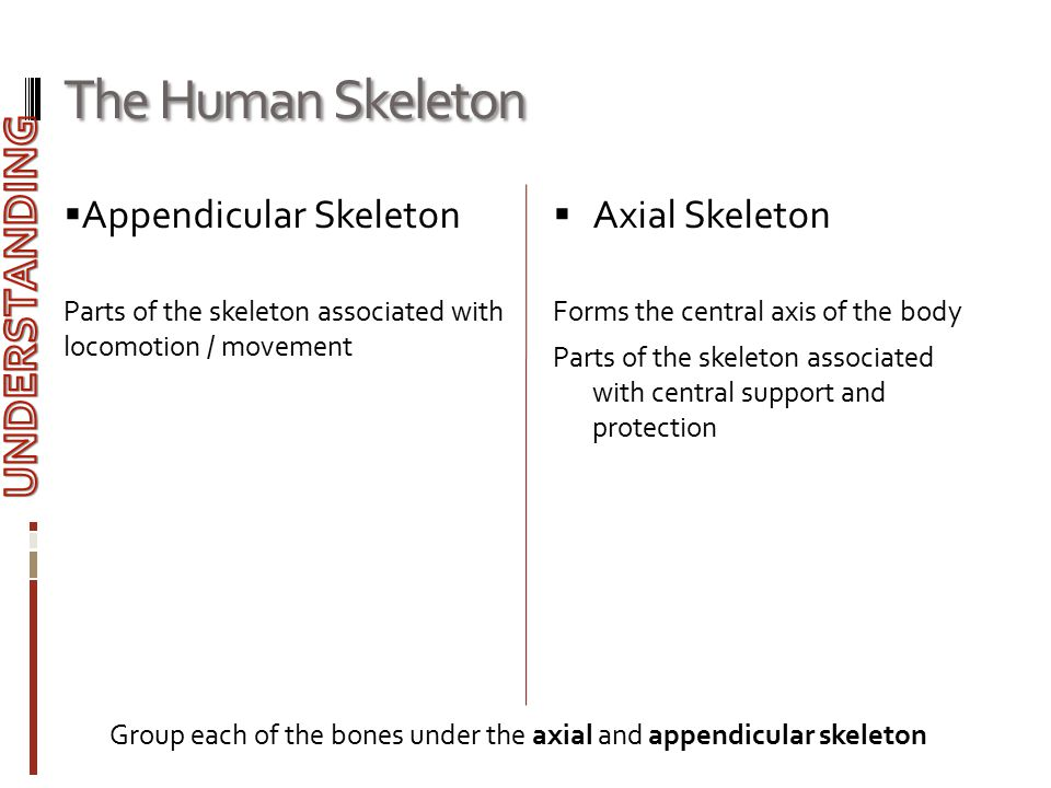 The Human Skeleton UNDERSTANDING Appendicular Skeleton Axial Skeleton