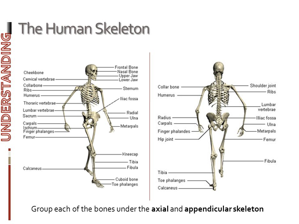The Human Skeleton UNDERSTANDING