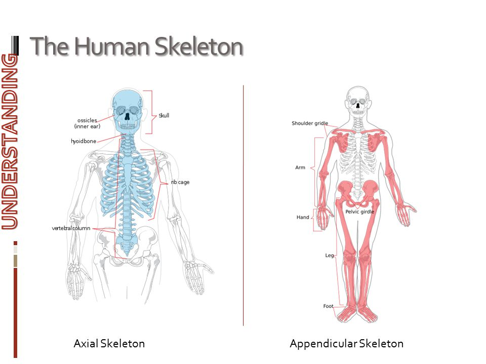 The Human Skeleton UNDERSTANDING Axial Skeleton Appendicular Skeleton