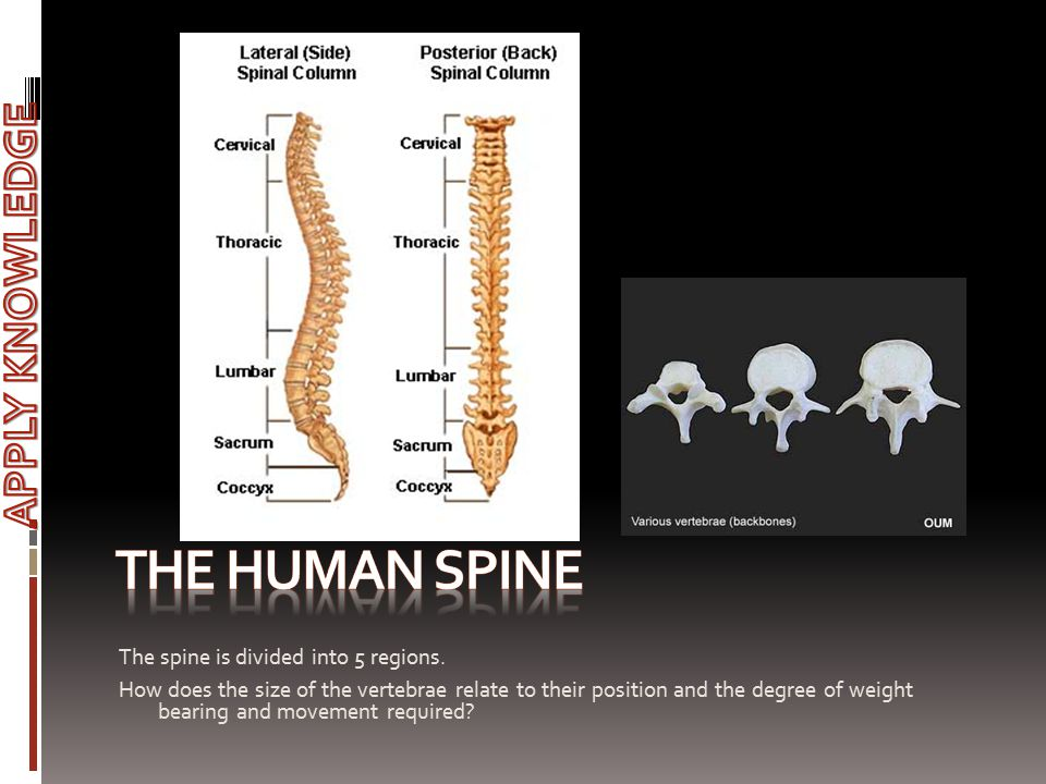 The Human spine APPLY KNOWLEDGE The spine is divided into 5 regions.