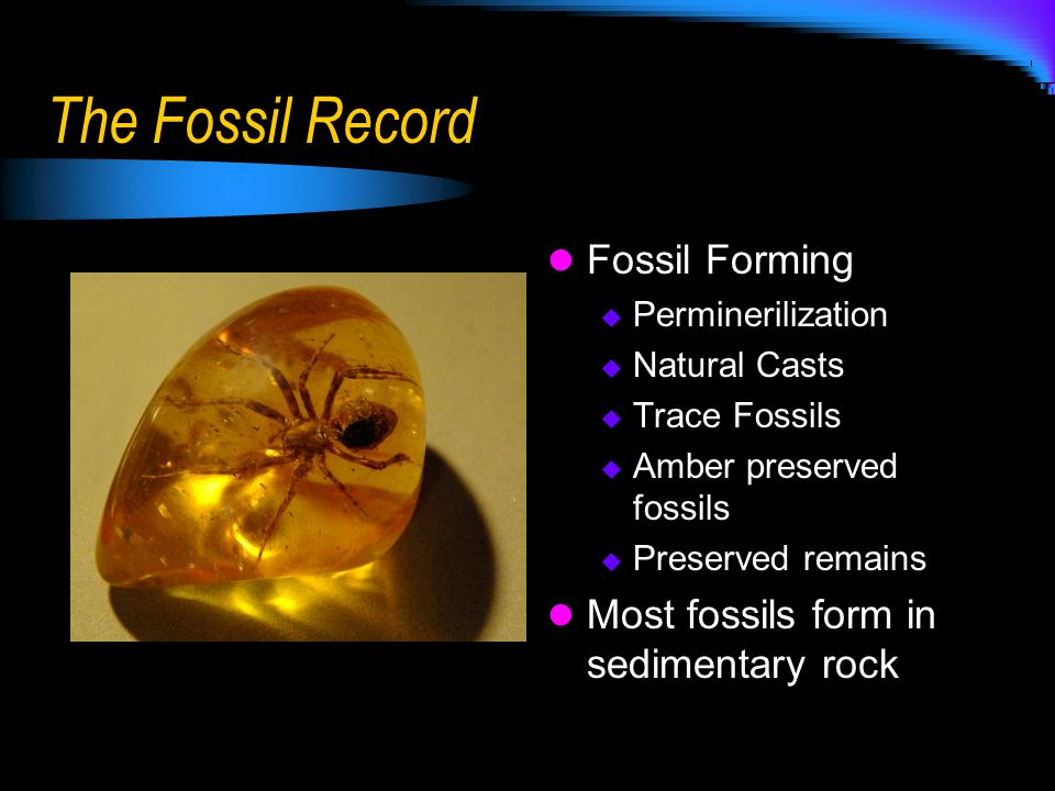 The Fossil Record Fossil Forming Most fossils form in sedimentary rock