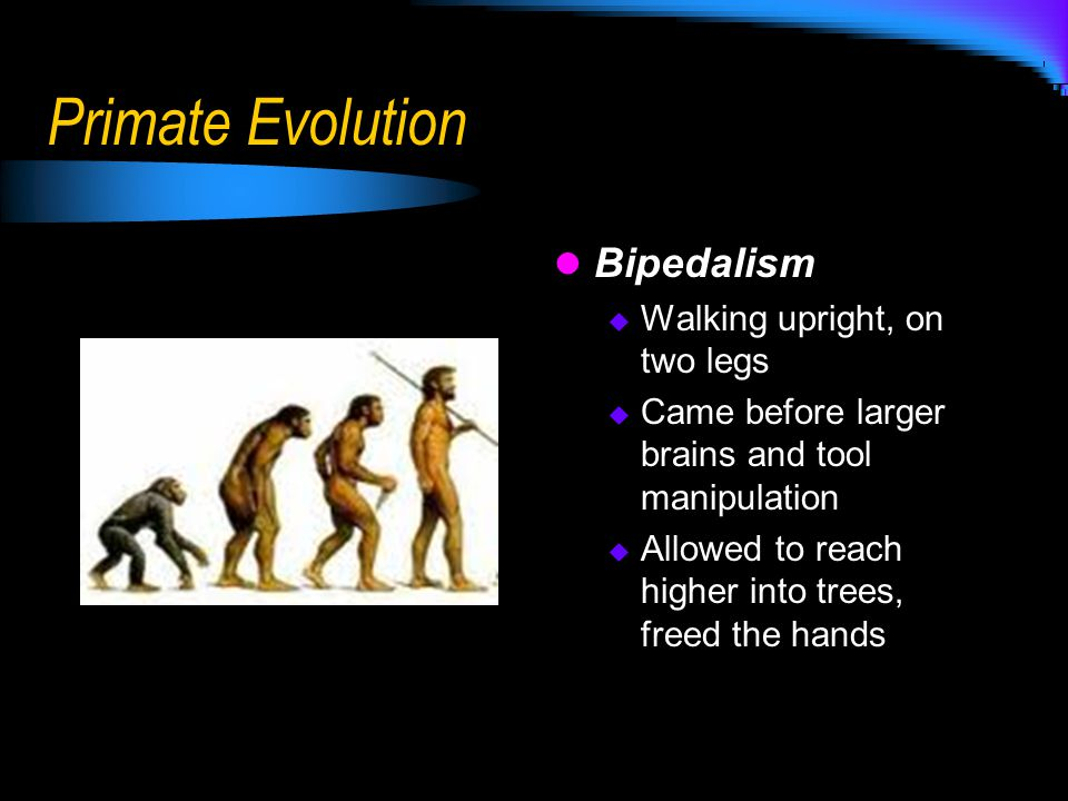 Primate Evolution Bipedalism Walking upright, on two legs