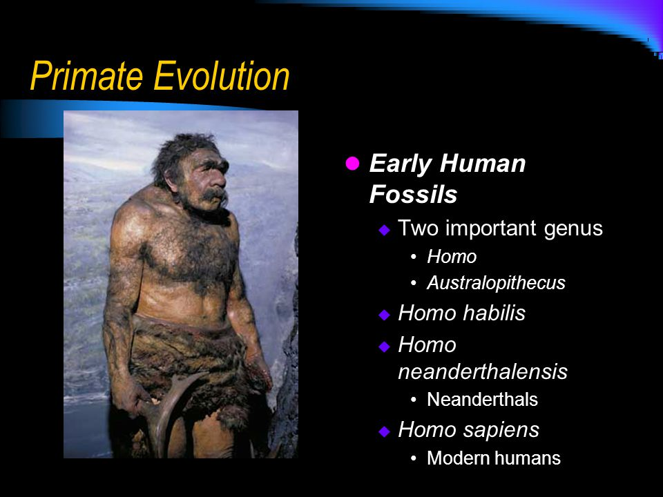 Primate Evolution Early Human Fossils Two important genus Homo habilis