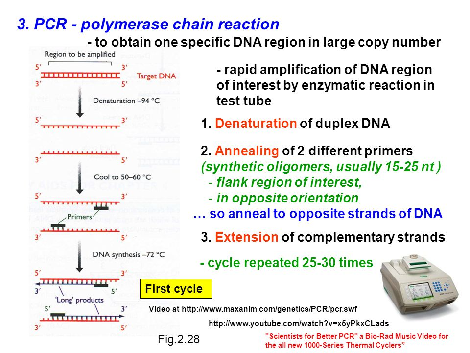 3. PCR - polymerase chain reaction