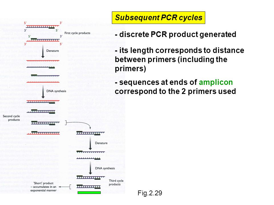 - discrete PCR product generated