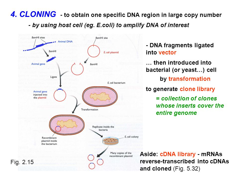 4. CLONING - to obtain one specific DNA region in large copy number