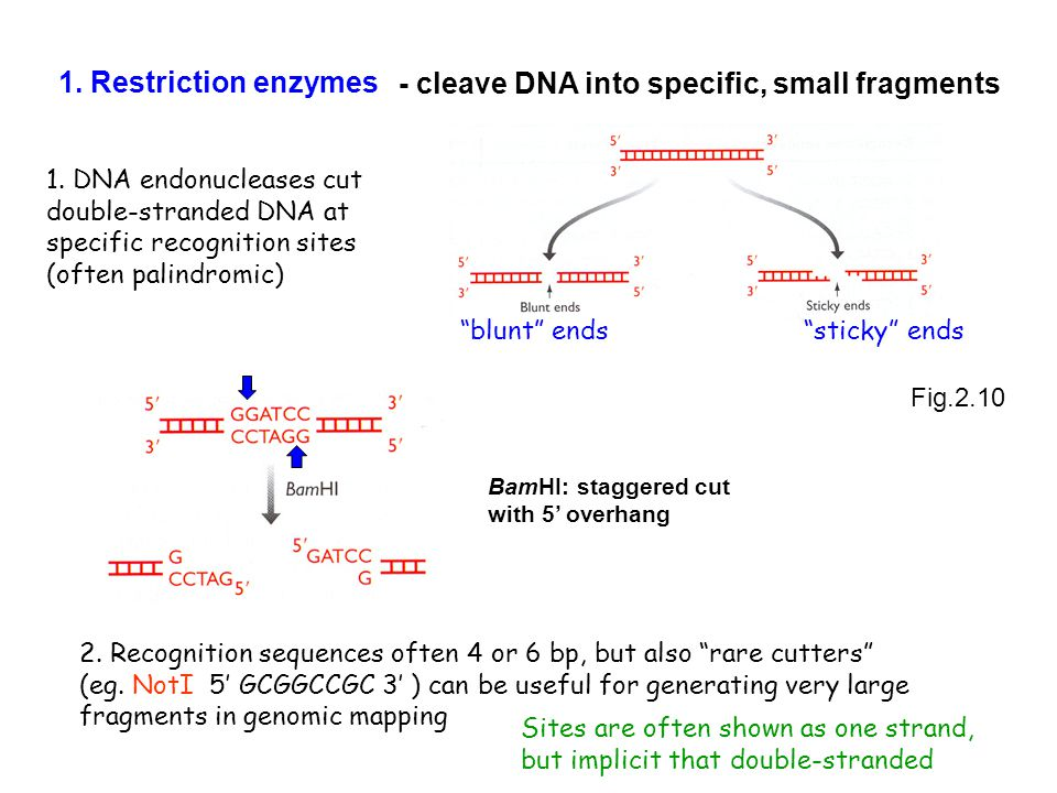 - cleave DNA into specific, small fragments