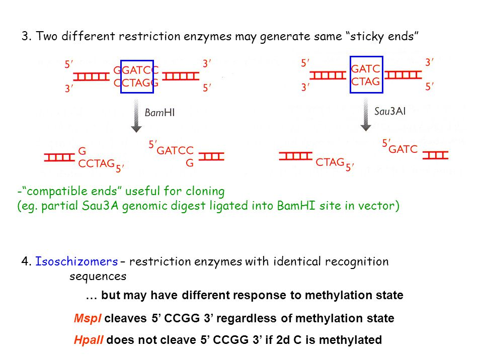 3. Two different restriction enzymes may generate same sticky ends