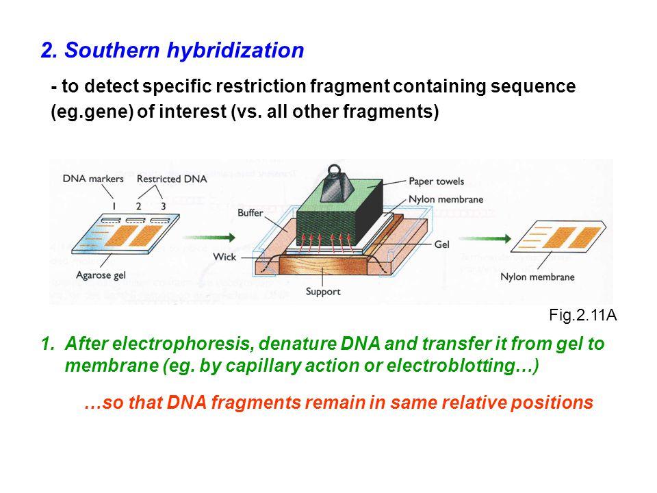 2. Southern hybridization
