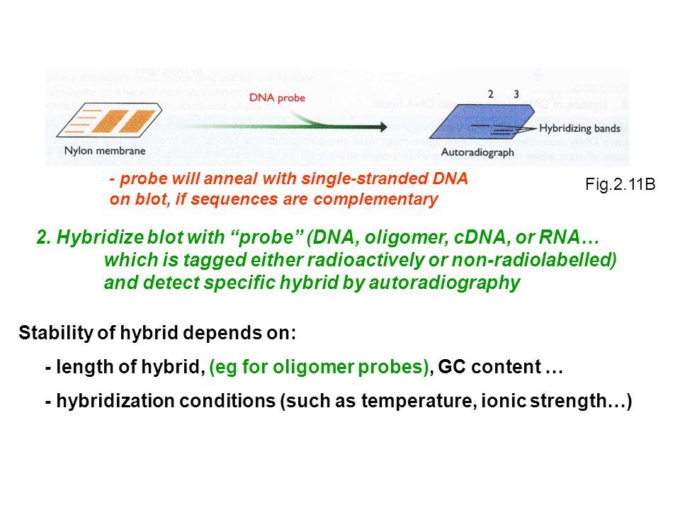 2. Hybridize blot with probe (DNA, oligomer, cDNA, or RNA…