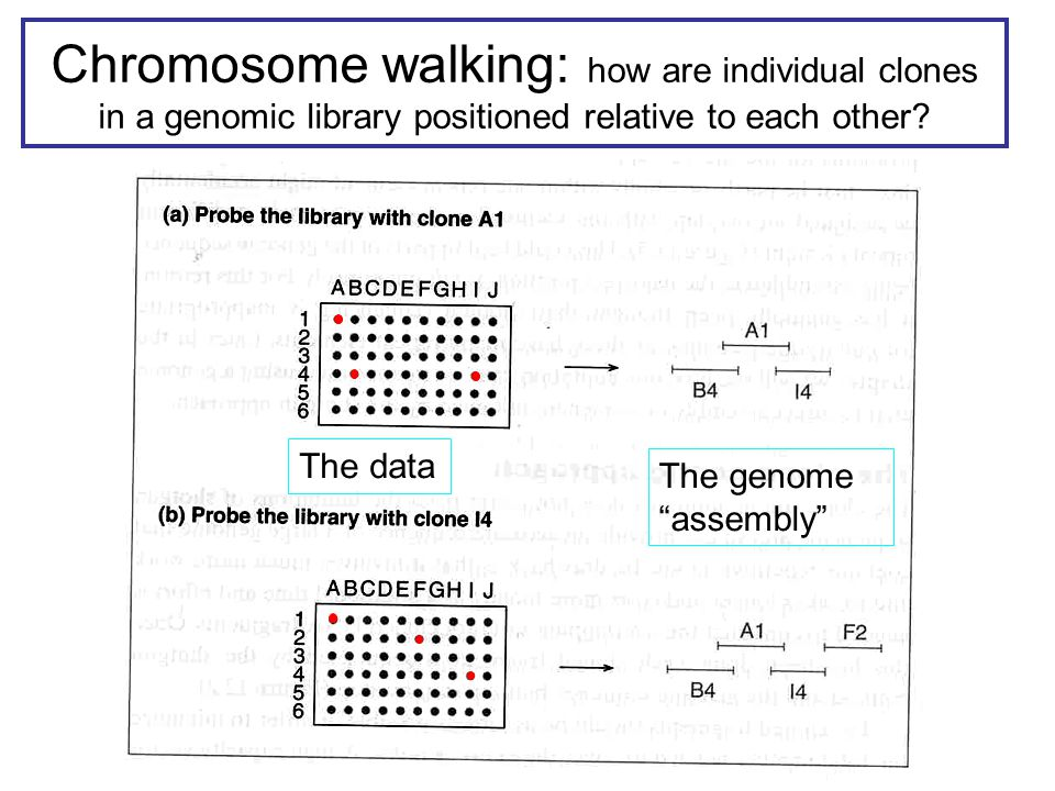 Chromosome walking: how are individual clones in a genomic library positioned relative to each other