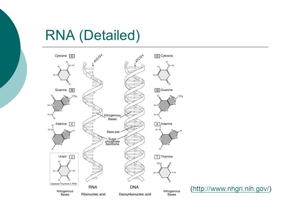 RNA (Detailed) (http://www.nhgri.nih.gov/)