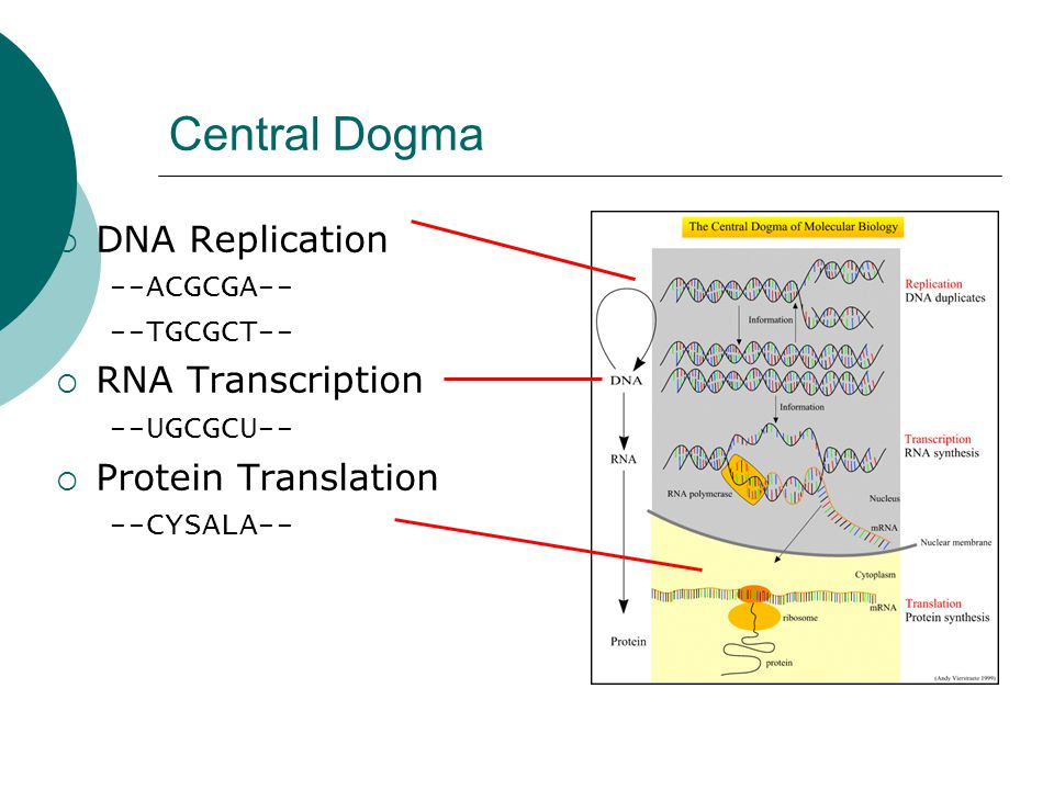 Central Dogma DNA Replication RNA Transcription Protein Translation
