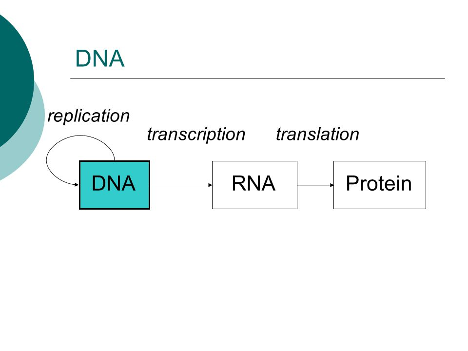 DNA replication transcription translation DNA RNA Protein