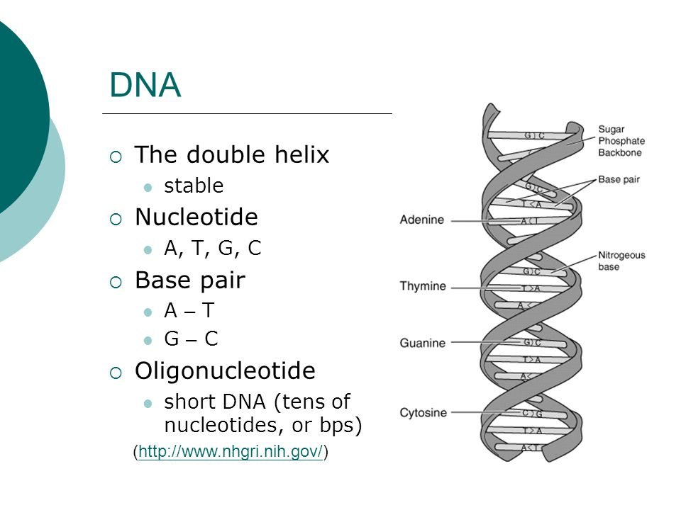 DNA The double helix Nucleotide Base pair Oligonucleotide stable