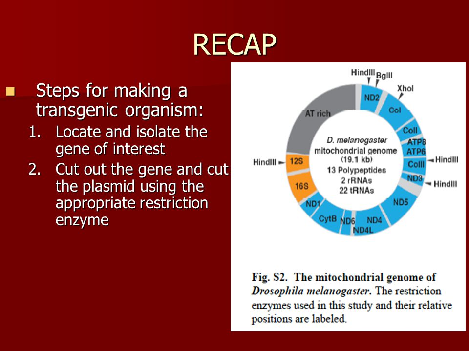 RECAP Steps for making a transgenic organism: