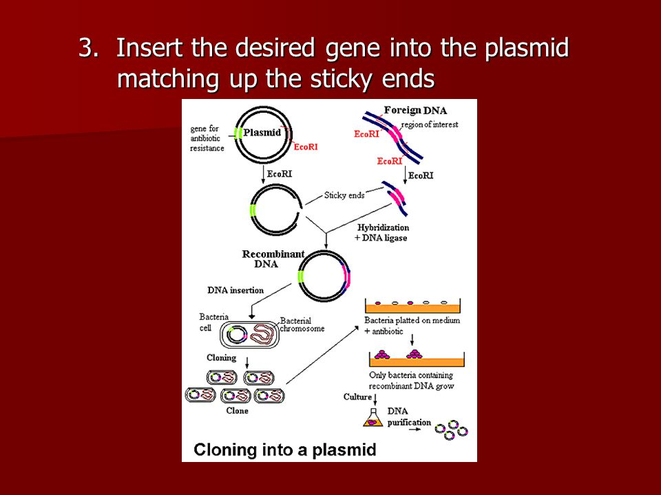 3. Insert the desired gene into the plasmid matching up the sticky ends