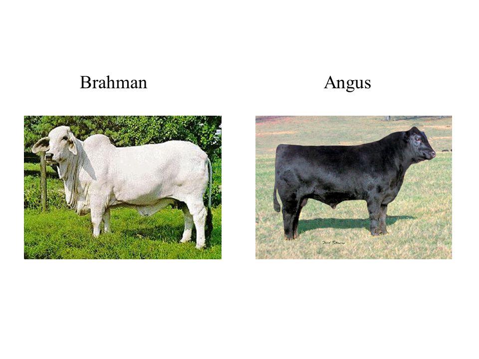 Brahman Angus