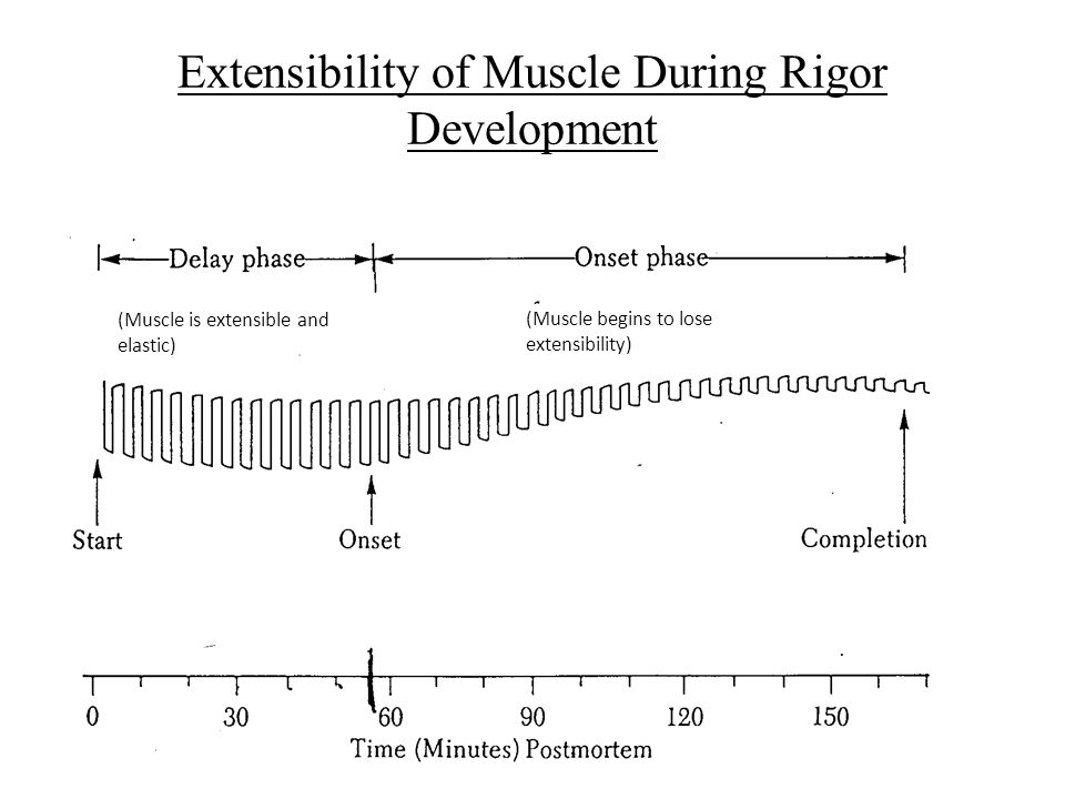 Extensibility of Muscle During Rigor Development