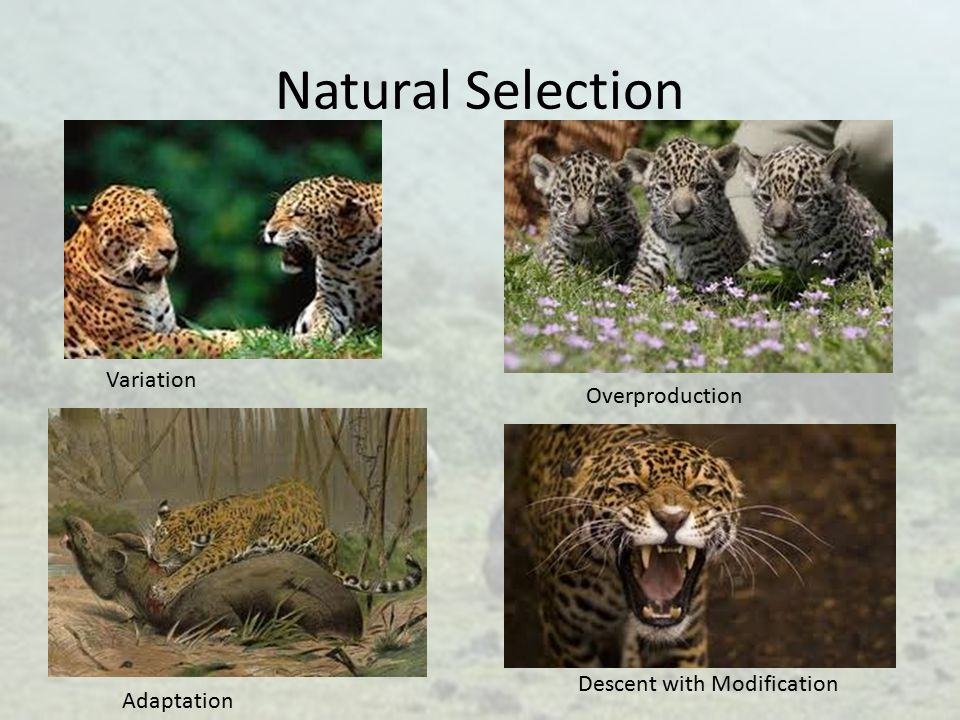 Natural Selection Variation Overproduction Descent with Modification