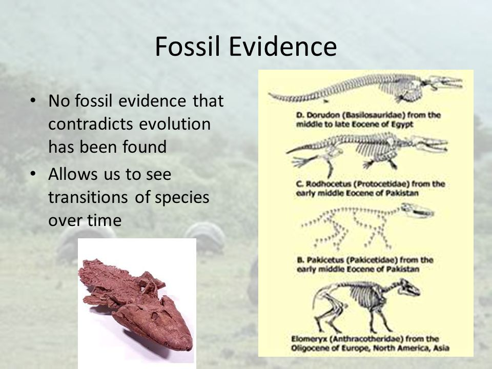 Fossil Evidence No fossil evidence that contradicts evolution has been found.