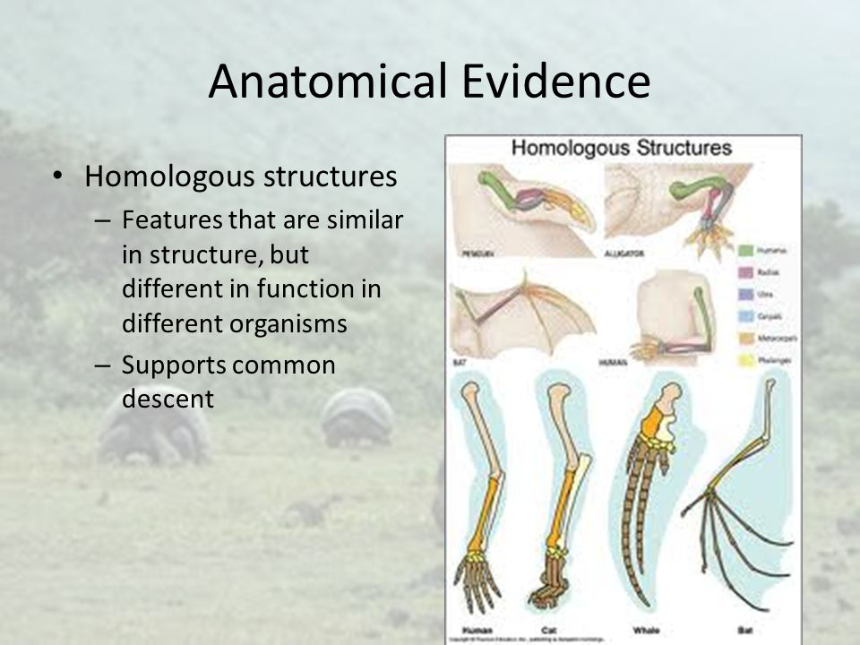 Anatomical Evidence Homologous structures