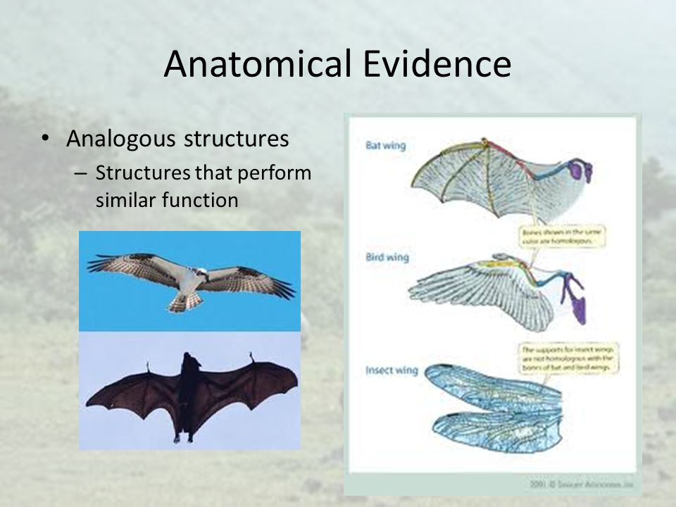 Anatomical Evidence Analogous structures