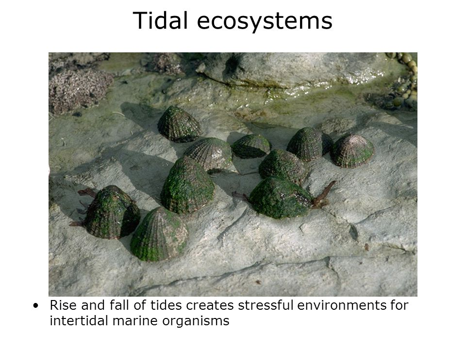 Tidal ecosystems Rise and fall of tides creates stressful environments for intertidal marine organisms.