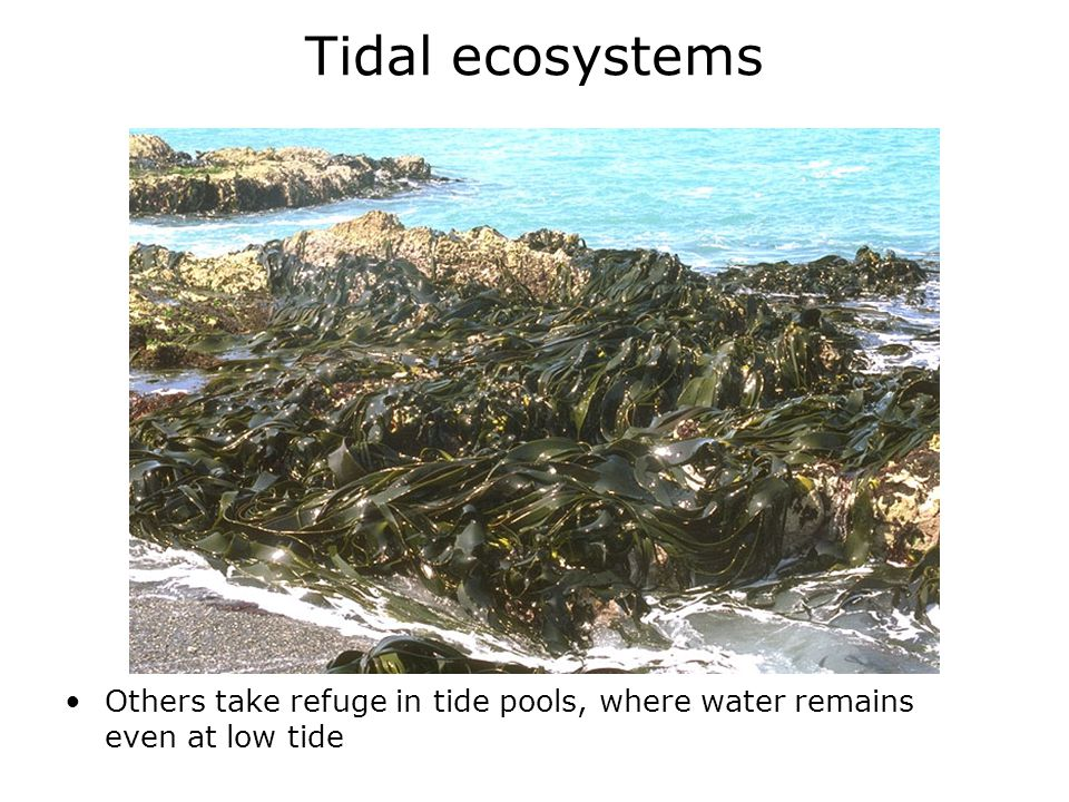 Tidal ecosystems Others take refuge in tide pools, where water remains even at low tide