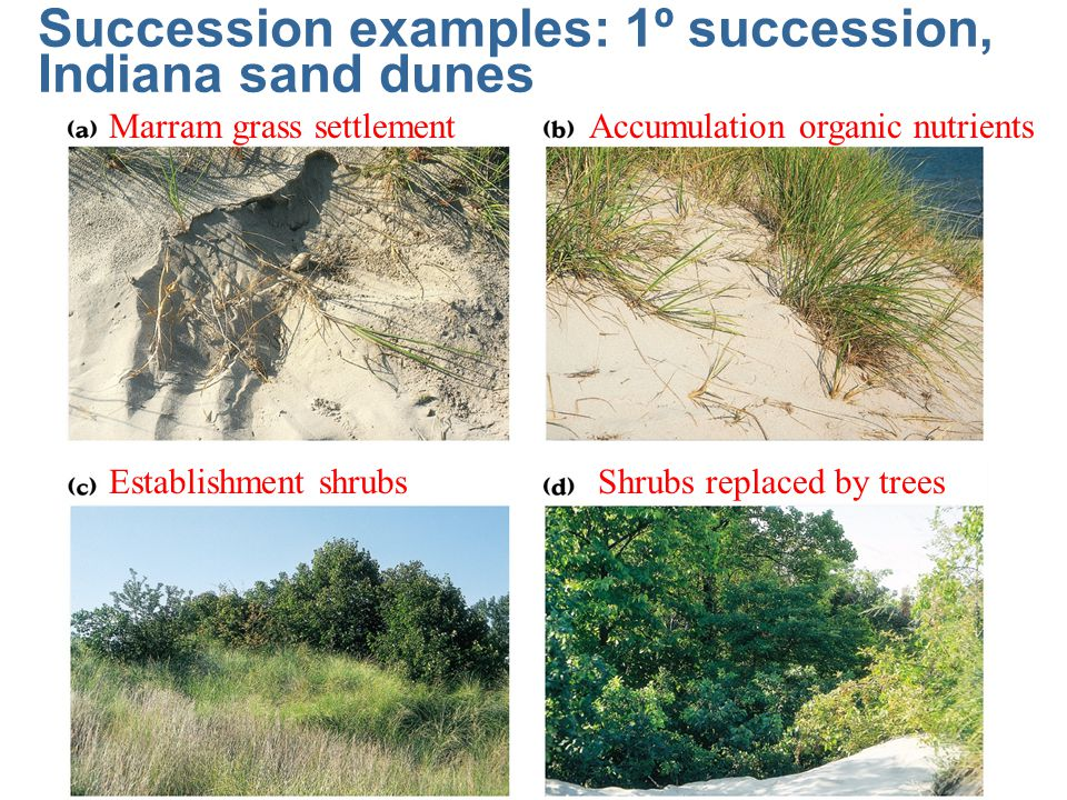 Succession examples: 1º succession, Indiana sand dunes