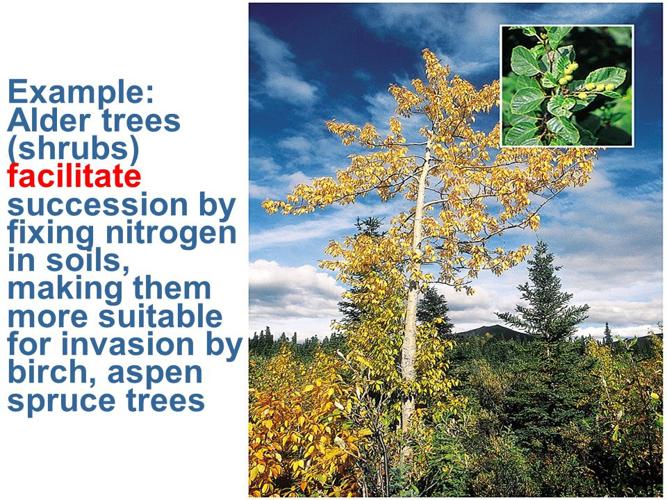 Example: Alder trees (shrubs) facilitate succession by fixing nitrogen in soils, making them more suitable for invasion by birch, aspen spruce trees