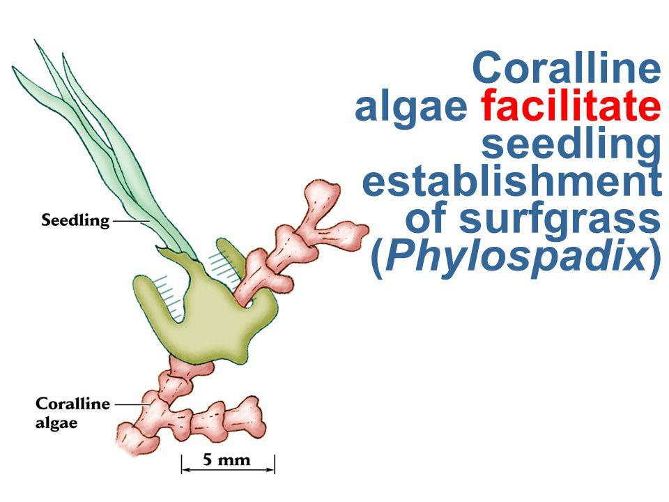 Coralline algae facilitate seedling establishment of surfgrass (Phylospadix)