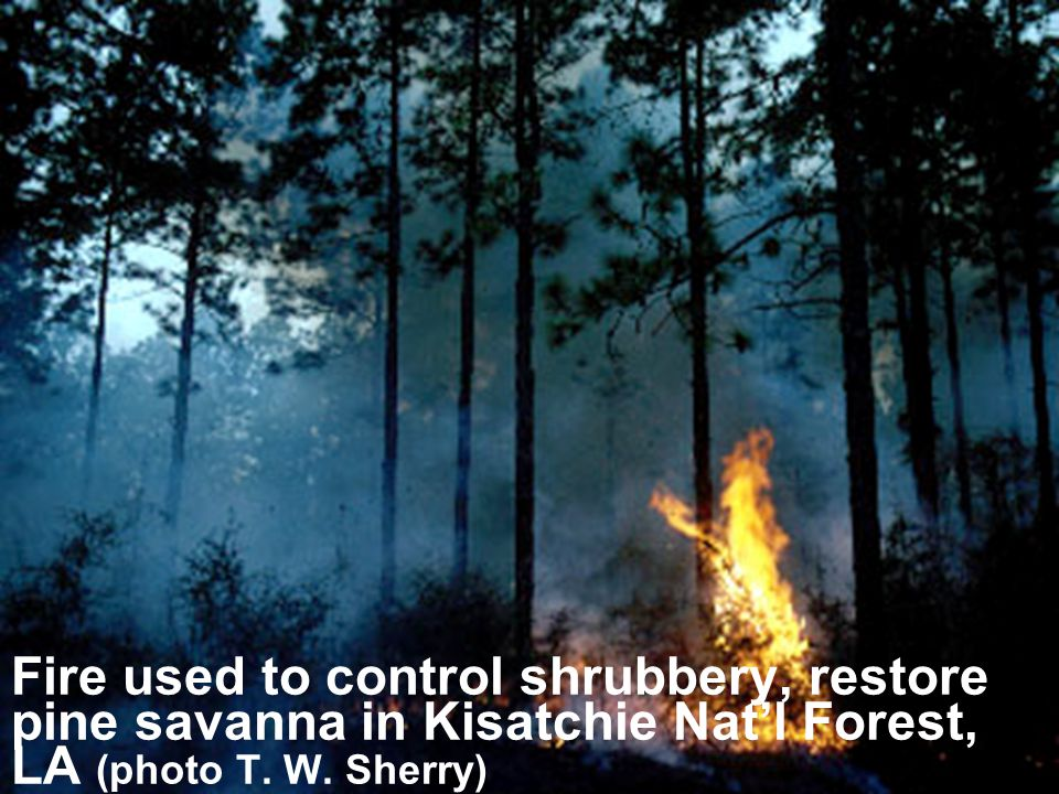 Fire used to control shrubbery, restore pine savanna in Kisatchie Nat'l Forest, LA (photo T.