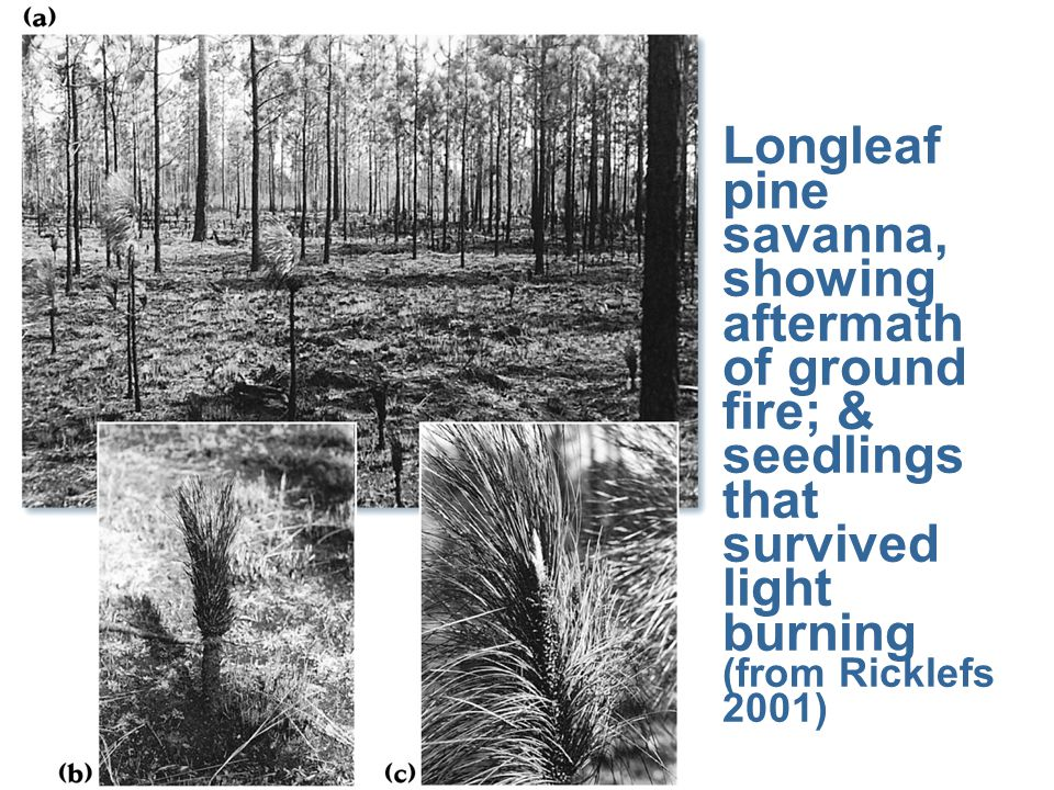 Longleaf pine savanna, showing aftermath of ground fire; & seedlings that survived light burning (from Ricklefs 2001)