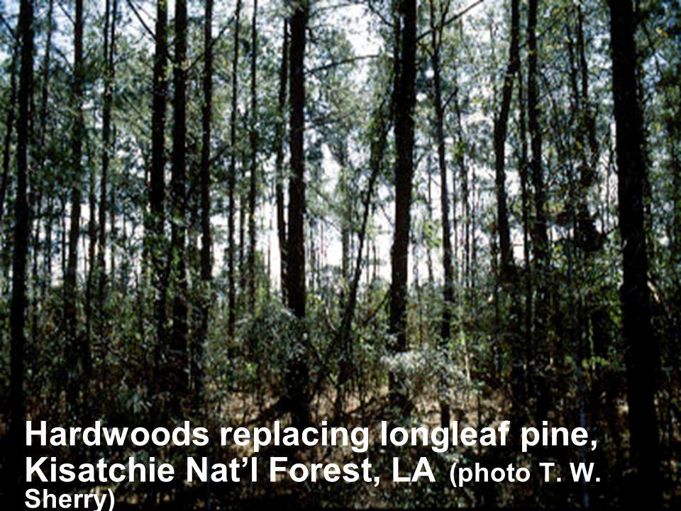 Hardwoods replacing longleaf pine, Kisatchie Nat'l Forest, LA (photo T