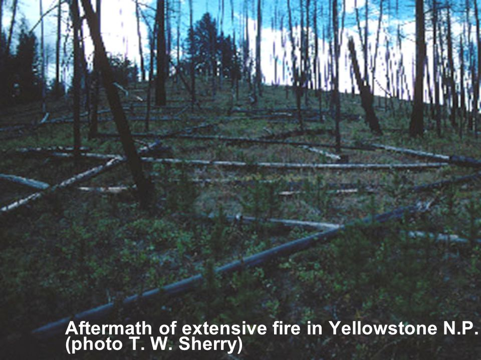 Aftermath of extensive fire in Yellowstone N.P. (photo T. W. Sherry)