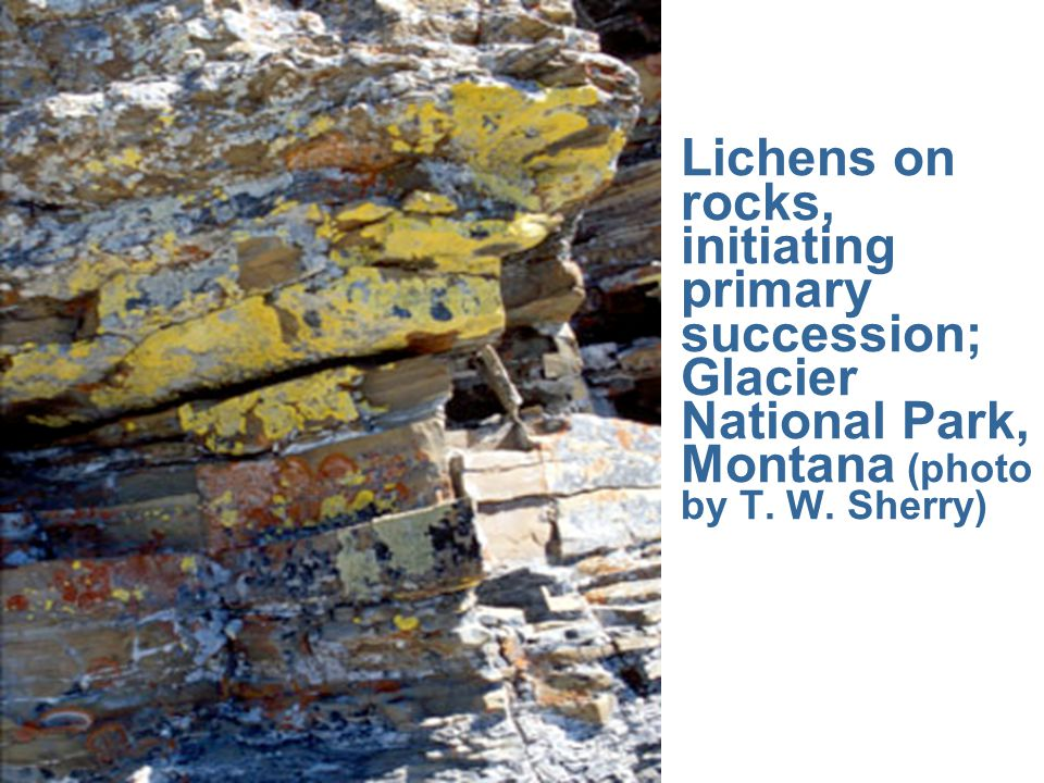 Lichens on rocks, initiating primary succession; Glacier National Park, Montana (photo by T.