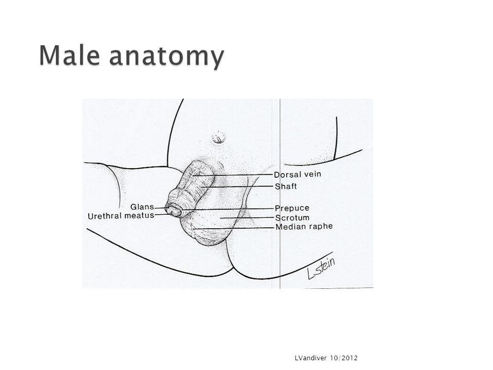 Male anatomy LVandiver 10/2012