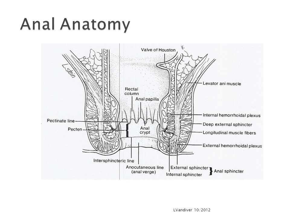 Anal Anatomy LVandiver 10/2012