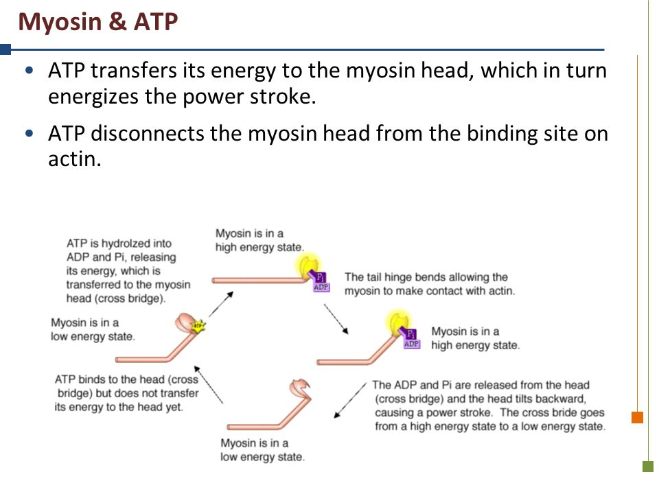 Myosin & ATP ATP transfers its energy to the myosin head, which in turn energizes the power stroke.