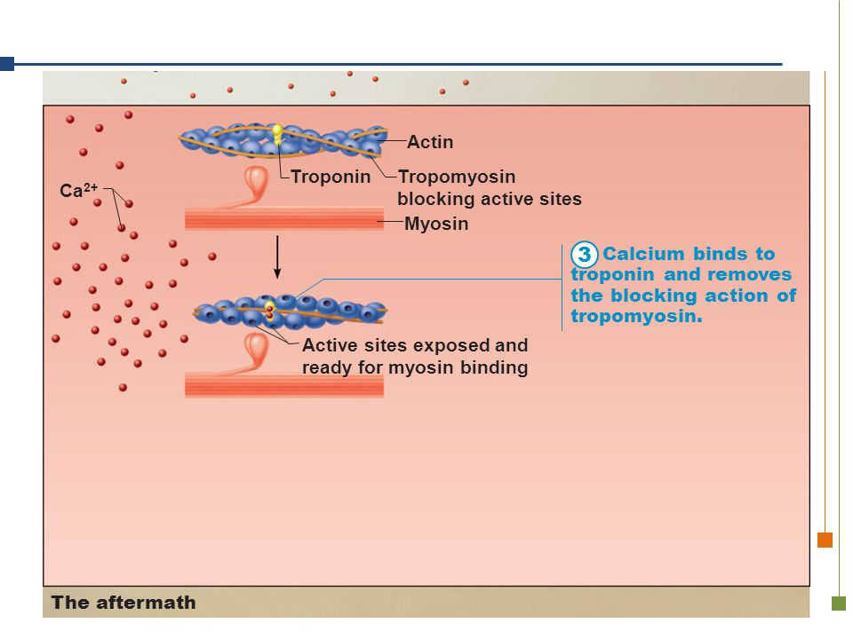 3 Troponin Tropomyosin blocking active sites Myosin Actin