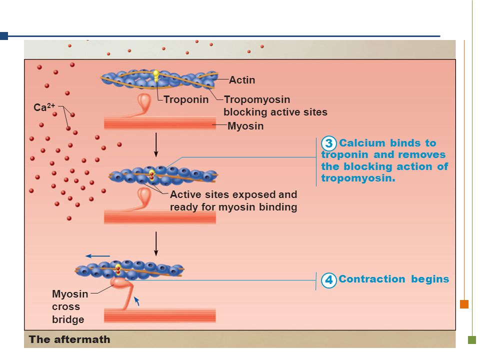 3 4 Troponin Tropomyosin blocking active sites Myosin Actin